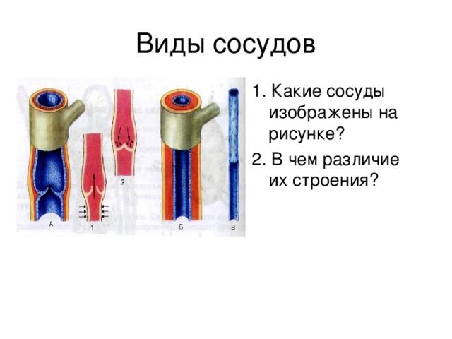 1. Какие сосуды изображены на рисунке? 2. В чем различие их строения?