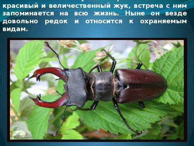 Жук-олень - один из самых известных жуков и самый большой жук в Европе. Это очень красивый и величественный жук, встреча с ним запоминается на всю жизнь. Ныне он везде довольно редок и относится к охраняемым видам.