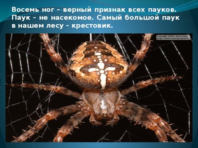 Восемь ног – верный признак всех пауков. Паук – не насекомое. Самый большой паук в нашем лесу – крестовик.