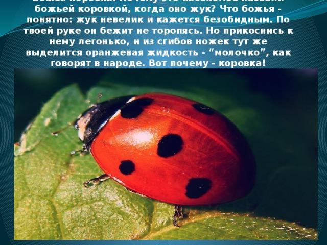 """Летом повсюду много насекомых.  Божья коровка. Почему это насекомое назвали божьей коровкой, когда оно жук? Что божья - понятно: жук невелик и кажется безобидным. По твоей руке он бежит не торопясь. Но прикоснись к нему легонько, и из сгибов ножек тут же выделится оранжевая жидкость - """"молочко"""", как говорят в народе. Вот почему - коровка!"""