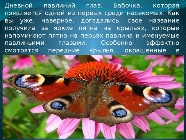 Дневной павлиний глаз. Бабочка, которая появляется одной из первых среди насекомых. Как вы уже, наверное, догадались, свое название получила за яркие пятна на крыльях, которые напоминают пятна на перьях павлина и именуемые павлиньими глазами. Особенно эффектно смотрятся передние крылья, окрашенные в вишнево-красный цвет.
