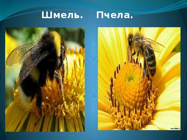 Шмель. Пчела.