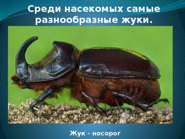 Среди насекомых самые разнообразные жуки. Жук - носорог