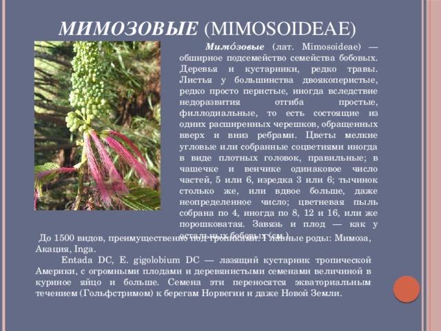 Мимозовые (Mimosoideae)  Мимо́зовые (лат. Mimosoideae) — обширное подсемейство семейства бобовых. Деревья и кустарники, редко травы. Листья у большинства двоякоперистые, редко просто перистые, иногда вследствие недоразвития отгиба простые, филлодиальные, то есть состоящие из одних расширенных черешков, обращенных вверх и вниз ребрами. Цветы мелкие угловые или собранные соцветиями иногда в виде плотных головок, правильные; в чашечке и венчике одинаковое число частей, 5 или 6, изредка 3 или 6; тычинок столько же, или вдвое больше, даже неопределенное число; цветневая пыль собрана по 4, иногда по 8, 12 и 16, или же порошковатая. Завязь и плод — как у остальных бобовых (см.).  До 1500 видов, преимущественно под тропиками. Главные роды: Мимоза, Акация, Inga.  Entada DC, E. gigolobium DC — лазящий кустарник тропической Америки, с огромными плодами и деревянистыми семенами величиной в куриное яйцо и больше. Семена эти переносятся экваториальным течением (Гольфстримом) к берегам Норвегии и даже Новой Земли.