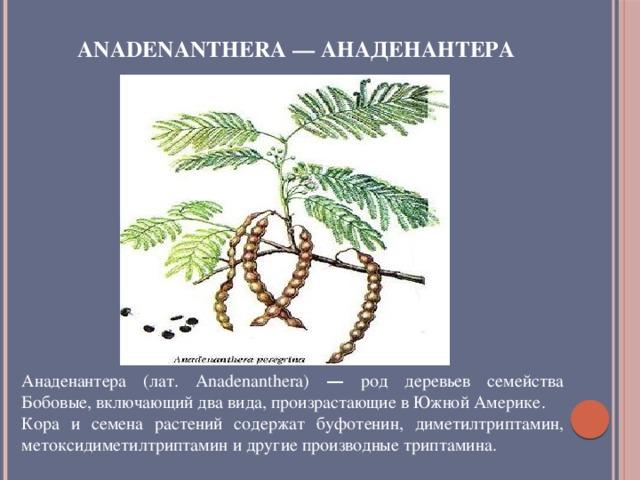 Anadenanthera — Анаденантера Анаденантера (лат. Anadenanthera) — род деревьев семейства Бобовые, включающий два вида, произрастающие в Южной Америке. Кора и семена растений содержат буфотенин, диметилтриптамин, метоксидиметилтриптамин и другие производные триптамина.