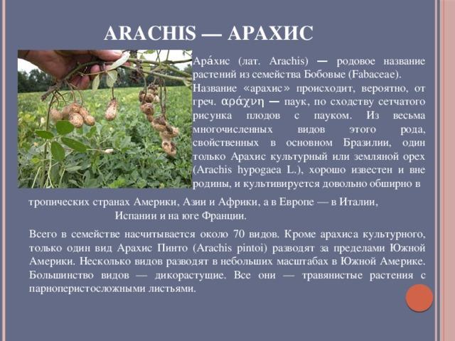 Arachis — Арахис Ара́хис (лат. Arachis) — родовое название растений из семейства Бобовые (Fabaceae). Название « арахис » происходит, вероятно, от греч. αράχνη — паук, по сходству сетчатого рисунка плодов с пауком. Из весьма многочисленных видов этого рода, свойственных в основном Бразилии, один только Арахис культурный или земляной орех (Arachis hypogaea L.), хорошо известен и вне родины, и культивируется довольно обширно в  тропических странах Америки, Азии и Африки, а в Европе — в Италии, Испании и на юге Франции. Всего в семействе насчитывается около 70 видов. Кроме арахиса культурного, только один вид Арахис Пинто (Arachis pintoi) разводят за пределами Южной Америки. Несколько видов разводят в небольших масштабах в Южной Америке. Большинство видов — дикорастущие. Все они — травянистые растения с парноперистосложными листьями.
