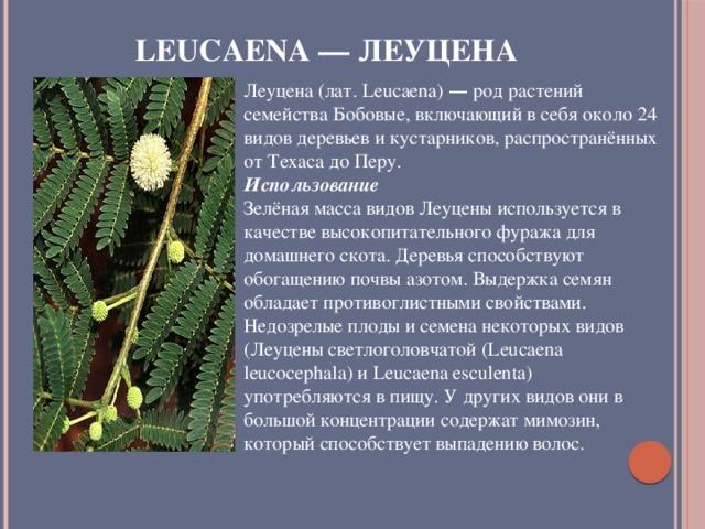 Leucaena — Леуцена Леуцена (лат. Leucaena) — род растений семейства Бобовые, включающий в себя около 24 видов деревьев и кустарников, распространённых от Техаса до Перу. Использование Зелёная масса видов Леуцены используется в качестве высокопитательного фуража для домашнего скота. Деревья способствуют обогащению почвы азотом. Выдержка семян обладает противоглистными свойствами. Недозрелые плоды и семена некоторых видов (Леуцены светлоголовчатой (Leucaena leucocephala) и Leucaena esculenta) употребляются в пищу. У других видов они в большой концентрации содержат мимозин, который способствует выпадению волос.