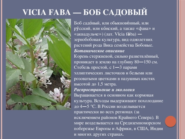 Vicia faba — Боб садовый Боб садо́вый, или обыкнове́нный, или ру́сский, или ко́нский, а также « фава » и « аквадульче » ) (лат. V í cia f á ba) — зернобобовая культура, вид однолетних растений рода Вика семейства Бобовые. Ботаническое описание Корень стержневой, сильно разветвлённый, проникает в землю на глубину 80 — 150 см. Стебель простой, с 1 — 3 парами эллиптических листочков и белыми или розоватыми цветками в пазушных кистях высотой до 1,5 метра. Распространение и экология Выращивается в основном как кормовая культура. Всходы выдерживают похолодание до 4 — 5 °C. В России возделывается практически во всех регионах (за исключением районов Крайнего Севера). В мире возделывается на Средиземноморском побережье Европы и Африки, в США, Индии и многих других странах.