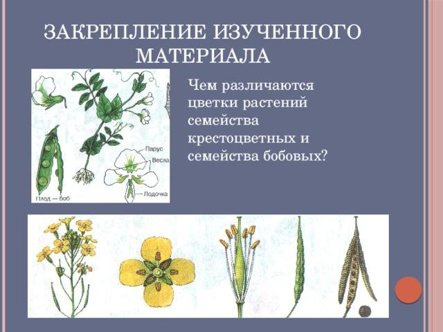 Закрепление изученного материала Чем различаются цветки растений семейства крестоцветных и семейства бобовых?