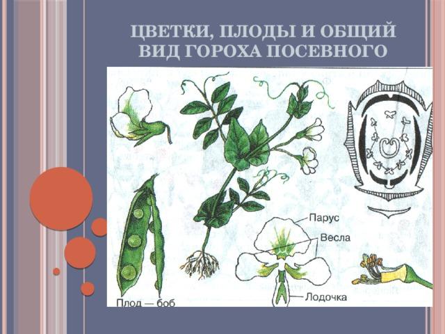 Цветки, плоды и общий вид гороха посевного