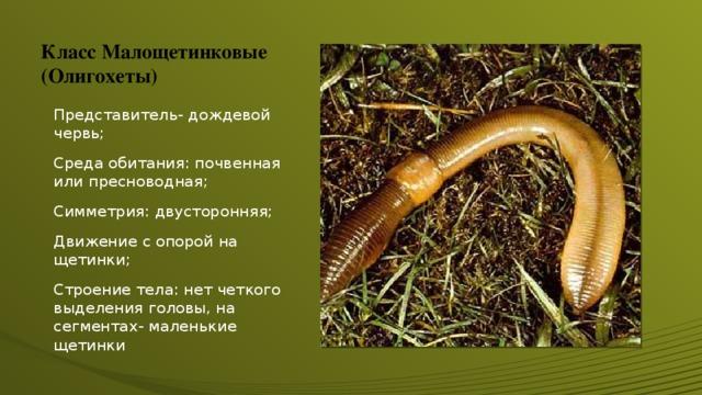Класс Малощетинковые (Олигохеты) Представитель- дождевой червь; Среда обитания: почвенная или пресноводная; Симметрия: двусторонняя; Движение с опорой на щетинки; Строение тела: нет четкого выделения головы, на сегментах- маленькие щетинки