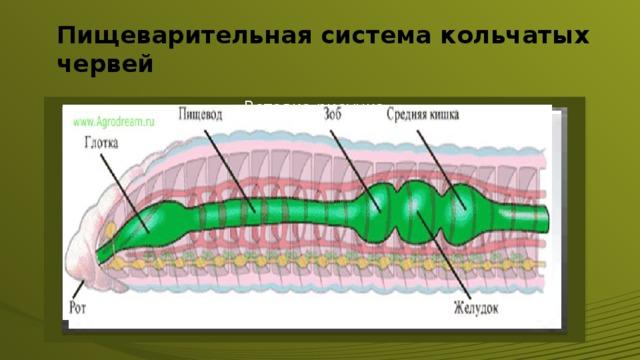 Пищеварительная система кольчатых червей Вставка рисунка