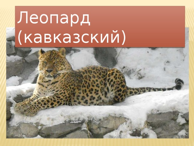 Леопард (кавказский)