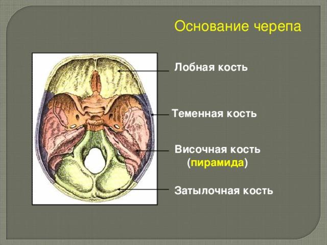 Основание черепа Лобная кость Теменная кость Височная кость ( пирамида ) Затылочная кость