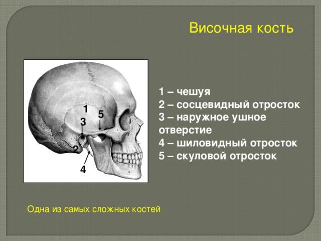 Височная кость 1 – чешуя 2 – сосцевидный отросток 3 – наружное ушное отверстие 4 – шиловидный отросток 5 – скуловой отросток 1 5 3 2 4 Одна из самых сложных костей