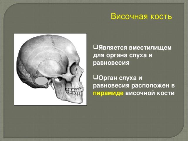 Височная кость