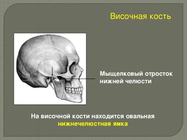 Височная кость Мыщелковый отросток нижней челюсти На височной кости находится овальная нижнечелюстная ямка