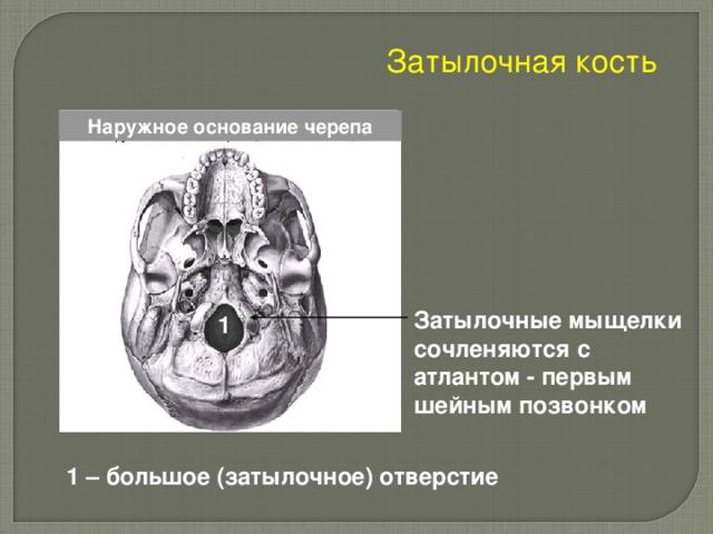 Затылочная кость Наружное основание черепа Затылочные мыщелки сочленяются с атлантом - первым шейным позвонком  1 1 – большое (затылочное) отверстие