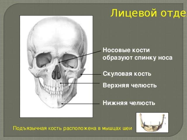 Лицевой отдел Носовые кости образуют спинку носа Скуловая кость Верхняя челюсть Нижняя челюсть Подъязычная кость расположена в мышцах шеи
