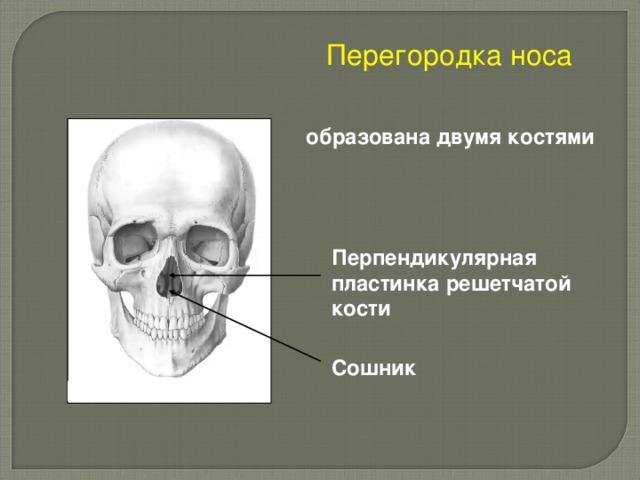 Перегородка носа  образована двумя костями Перпендикулярная пластинка решетчатой кости Сошник