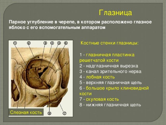 Глазница  Парное углубление в черепе, в котором расположено глазное яблоко с его вспомогательным аппаратом Костные стенки глазницы: 1 - глазничная пластинка решетчатой кости 2 - надглазничная вырезка 3 - канал зрительного нерва 4 - лобная кость 5 - верхняя глазничная щель 6 - большое крыло клиновидной кости  7 - скуловая кость 8 - нижняя глазничная щель Слезная кость