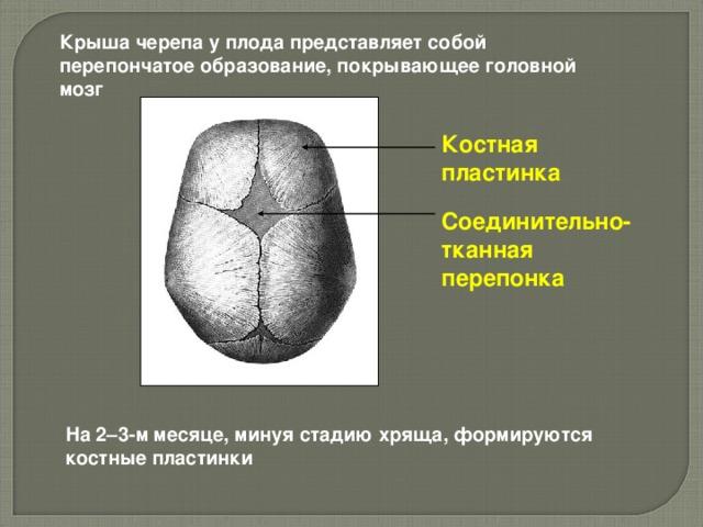 Крыша черепа у плода представляет собой перепончатое образование, покрывающее головной мозг Костная пластинка Соединительно-тканная перепонка На 2–3-м месяце, минуя стадию хряща, формируются костные пластинки