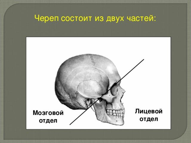 Череп состоит из двух частей: Лицевой отдел Мозговой отдел