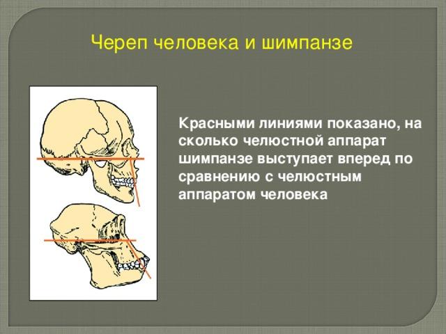 Череп человека и шимпанзе  Красными линиями показано, на сколько челюстной аппарат шимпанзе выступает вперед по сравнению с челюстным аппаратом человека