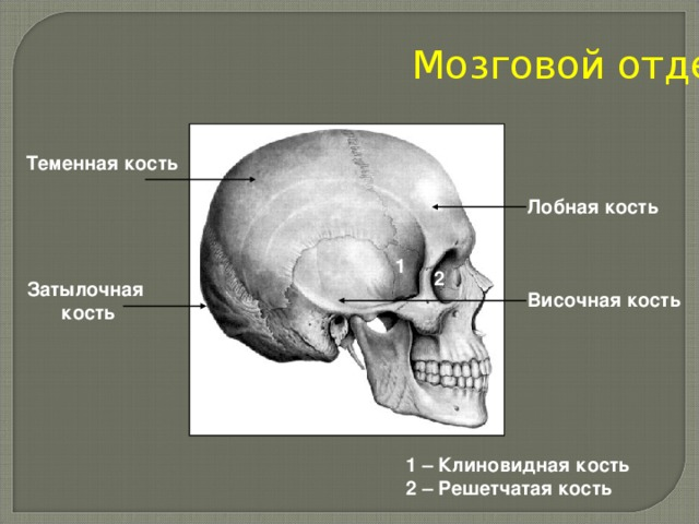Мозговой отдел Теменная кость Лобная кость 1 2 Затылочная кость Височная кость 1 – Клиновидная кость 2 – Решетчатая кость