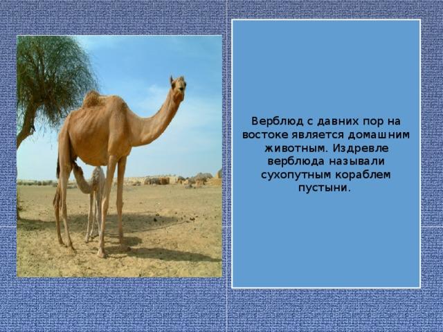 Верблюд с давних пор на востоке является домашним животным. Издревле верблюда называли сухопутным кораблем пустыни.
