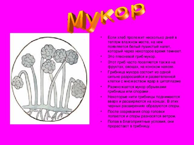 Если хлеб пролежит несколько дней в теплом влажном месте, на нем появляется белый пушистый налет, который через некоторое время темнеет. Это плесневой гриб-мукор. Этот гриб часто поселяется также на фруктах, овощах, на конском навозе. Грибница мукора состоит из одной сильно разросшейся и разветвленной клетки с множеством ядер в цитоплазме Размножается мукор обрывками грибницы или спорами . Некоторые нити грибницы поднимаются вверх и расширяются на концах. В этих черных расширениях образуются споры. После созревания спор головки лопаются и споры разносятся ветром. Попав в благоприятные условия, они прорастают в грибницу.