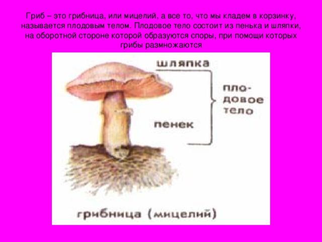 Гриб – это грибница, или мицелий, а все то, что мы кладем в корзинку, называется плодовым телом. Плодовое тело состоит из пенька и шляпки, на оборотной стороне которой образуются споры, при помощи которых грибы размножаются