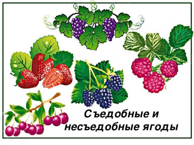 Съедобные и несъедобные ягоды