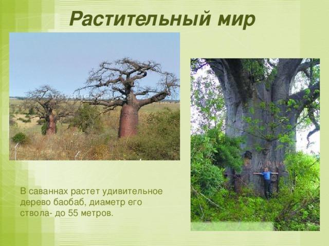 Растительный мир  В саваннах растет удивительное дерево баобаб, диаметр его ствола- до 55 метров.