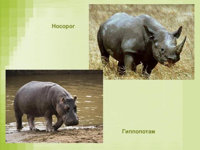 Носорог Гиппопотам