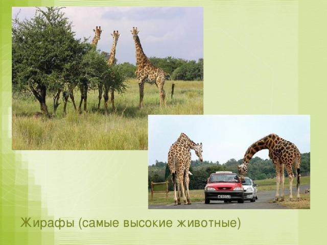 Жирафы (самые высокие животные)