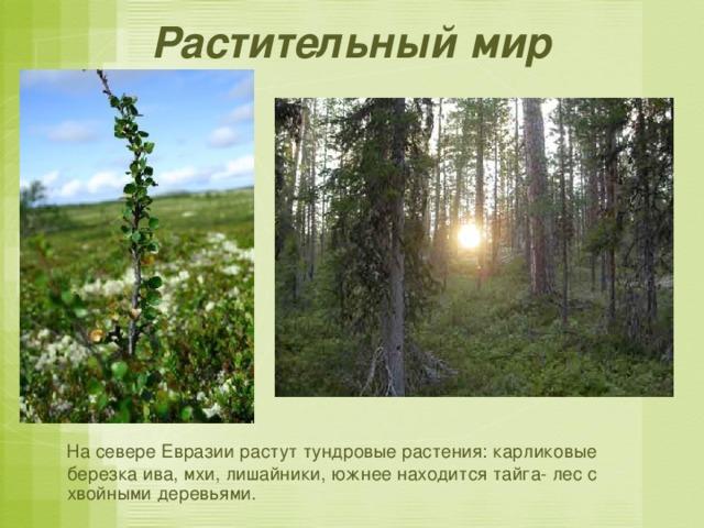 Растительный мир  На севере Евразии растут тундровые растения: карликовые березка ива, мхи, лишайники, южнее находится тайга- лес с хвойными деревьями.