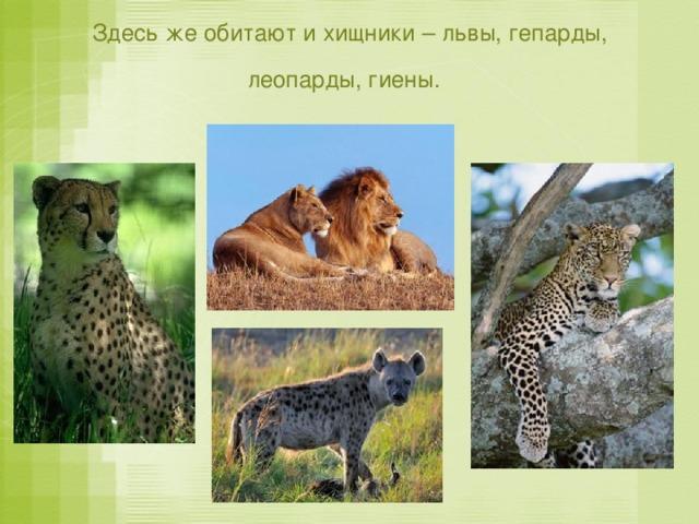 Здесь же обитают и хищники – львы, гепарды, леопарды, гиены.