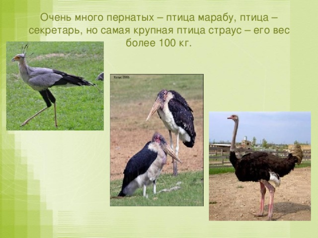 Очень много пернатых – птица марабу, птица – секретарь, но самая крупная птица страус – его вес более 100 кг.