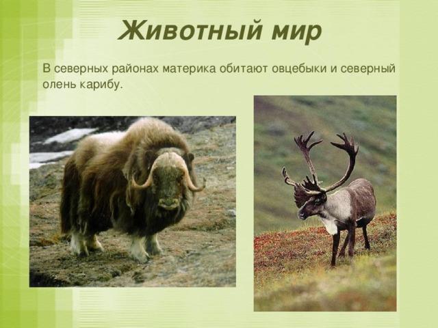 Животный мир  В северных районах материка обитают овцебыки и северный олень карибу.