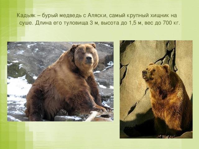 Кадьяк – бурый медведь с Аляски, самый крупный хищник на суше. Длина его туловища 3 м, высота до 1,5 м, вес до 700 кг.