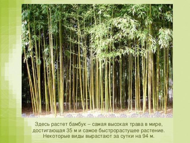 Здесь растет бамбук – самая высокая трава в мире, достигающая 35 м и самое быстрорастущее растение. Некоторые виды вырастают за сутки на 94 м.