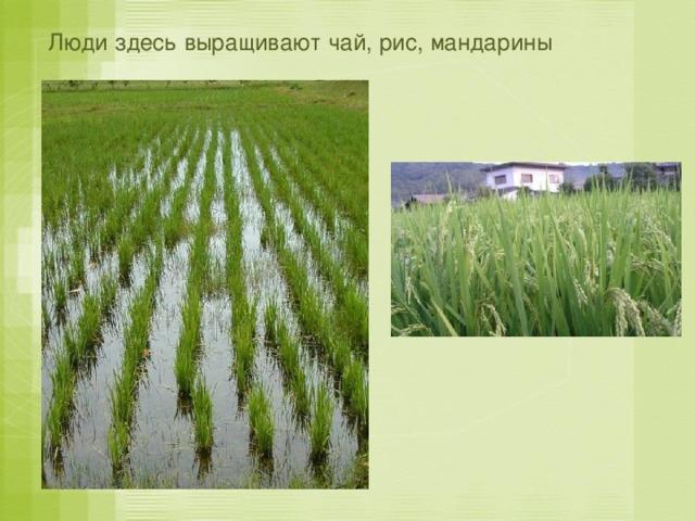 Люди здесь выращивают чай, рис, мандарины