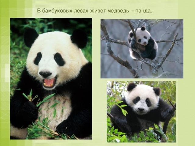 В бамбуковых лесах живет медведь – панда.