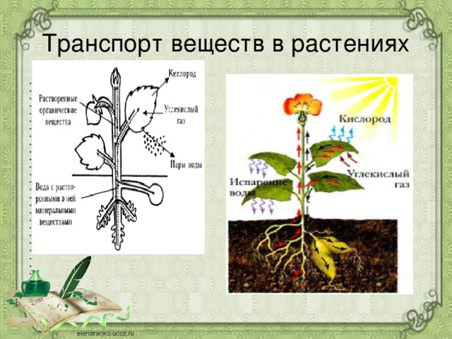 Транспорт веществ в растениях
