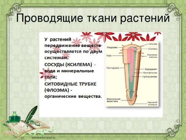 Проводящие ткани растений