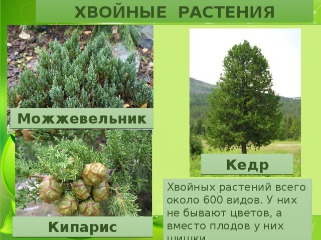 ХВОЙНЫЕ РАСТЕНИЯ Можжевельник Кедр Хвойных растений всего около 600 видов. У них не бывают цветов, а вместо плодов у них шишки Кипарис