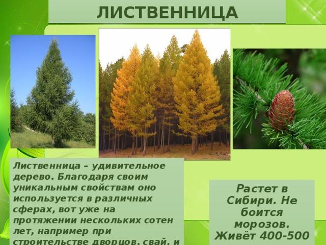 ЛИСТВЕННИЦА Лиственница – удивительное дерево. Благодаря своим уникальным свойствам оно используется в различных сферах, вот уже на протяжении нескольких сотен лет, например при строительстве дворцов, свай, и даже в кораблестроении. Растет в Сибири. Не боится морозов. Живёт 400-500 лет.