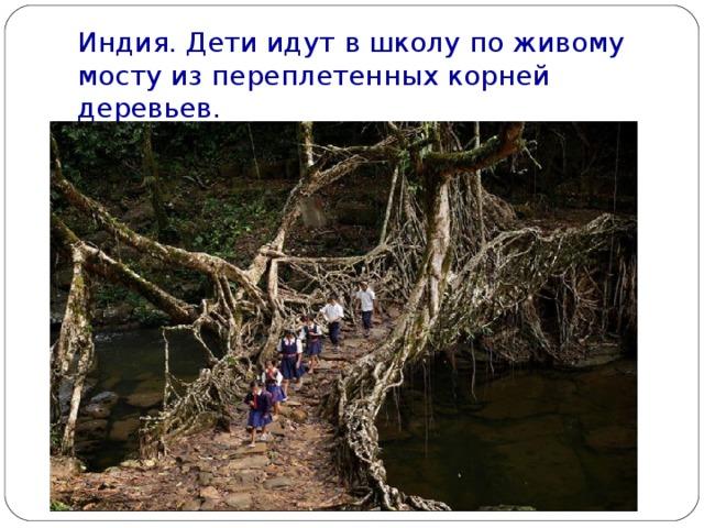 Индия. Дети идут в школу по живому мосту из переплетенных корней деревьев.