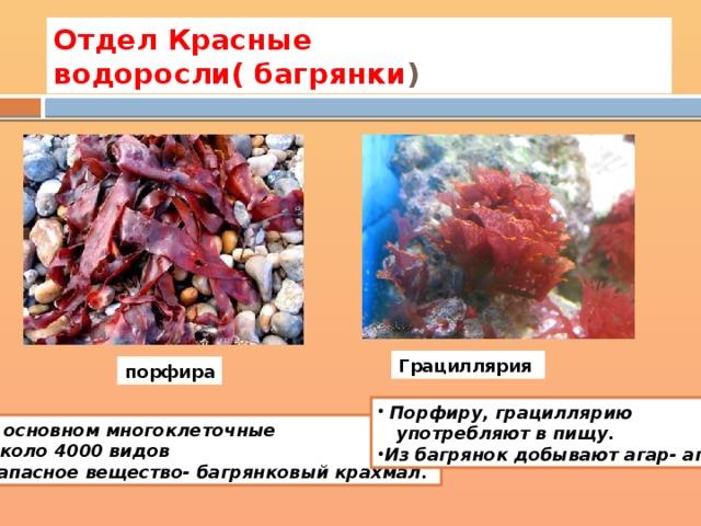 Отдел Красные водоросли( багрянки ) Грациллярия порфира  Порфиру, грациллярию  употребляют в пищу.